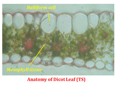 dicot leaf diagram hampton by hilton dortmund phoenix see difference between and monocot | easybiologyclass