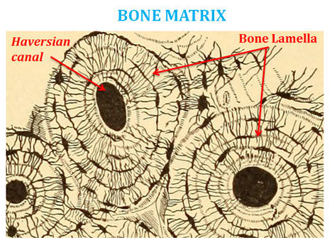 parts of the nose diagram easy read wiring diagrams difference between bone and cartilage | easybiologyclass