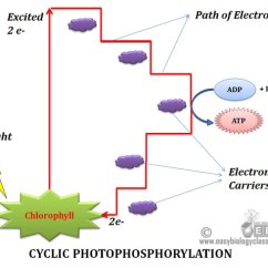 What Is A Molecular Diagram Labeled Grasshopper Head Cyclic Vs Noncyclic Phosphorylation - Table | Easybiologyclass