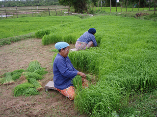 Rice farming on Koh Yao Yai Island