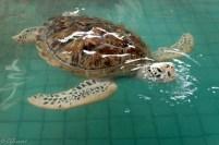 Turtles at Thai Munag Sanctuary