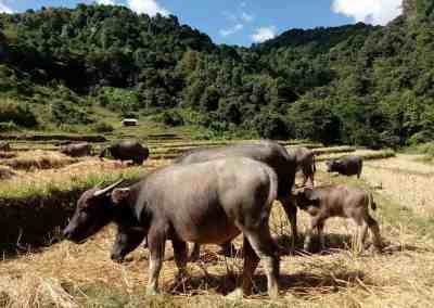 Chiang Mai, Doi Inthanon - Buffalo Group