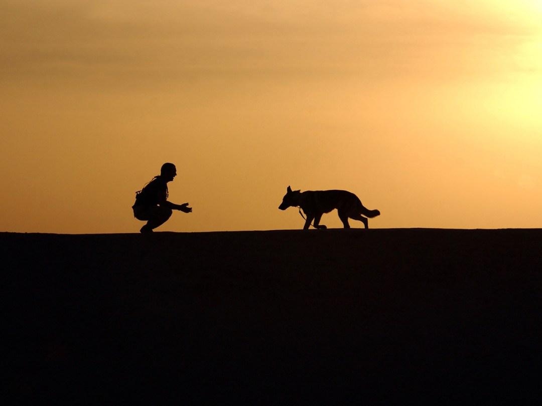 Canine Dog German Shepherd