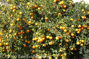 orange tree, citrus tree