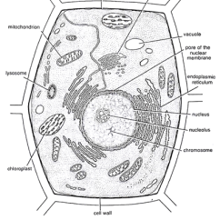 Animal Cell Diagram With Labels And Functions Capacitor Wiring Ac Structures As Seen Under The Light Electron Microscope - Form 1 Biology Notes