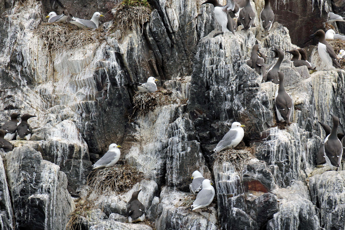 Kittiwakes and Guillemots