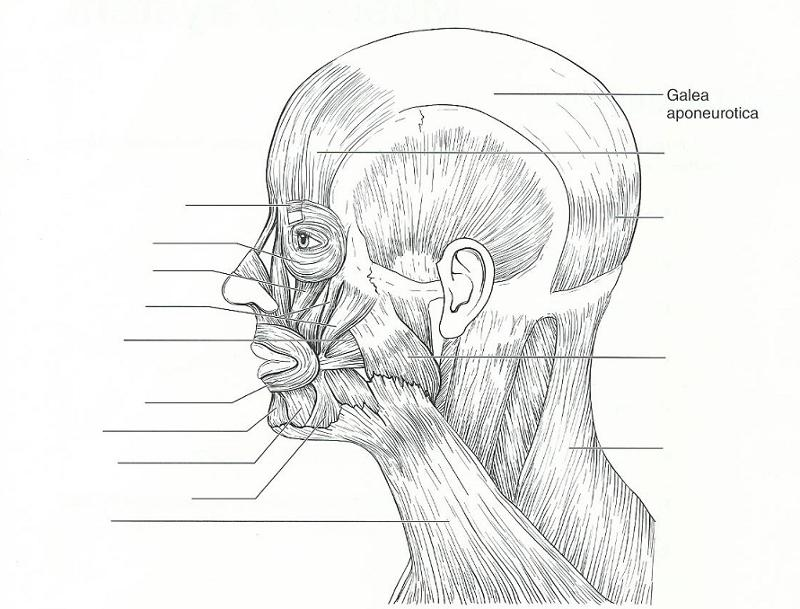 Exercise 15: Gross Anatomy of the Muscular System