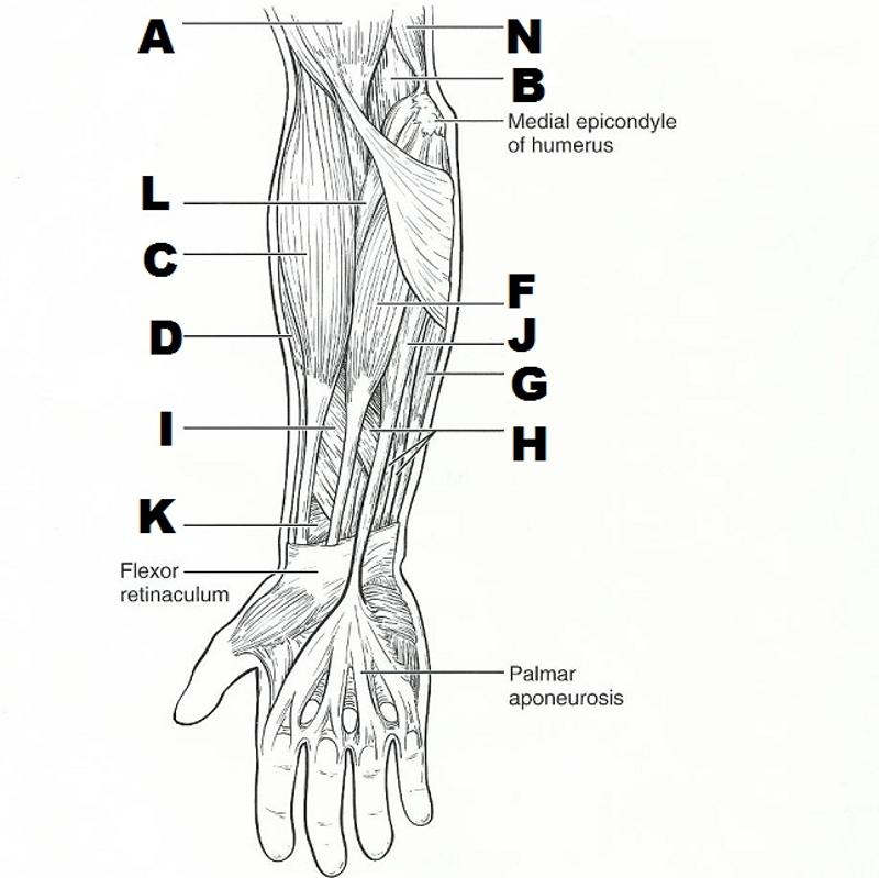 Lower Leg Muscle Diagram Blank Sketch Coloring Page