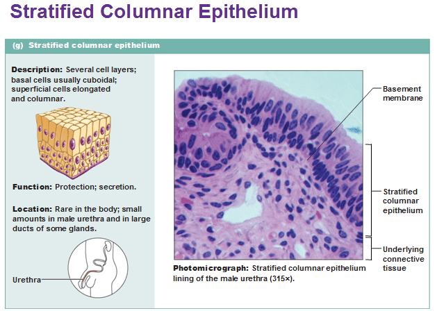 stratified columnar epithelium diagram 1965 mustang alternator wiring cuboidal online large ducts of glands in and print