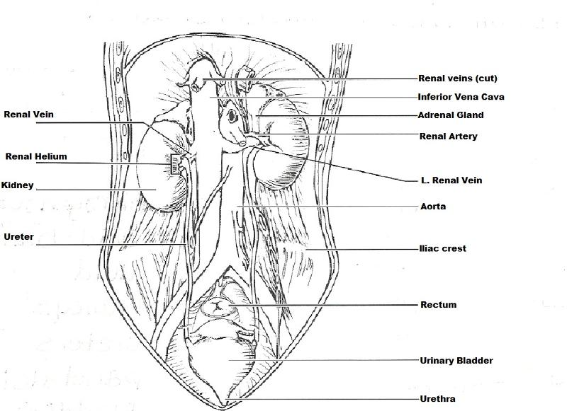 Exercise 40: Anatomy of the Urinary System Flashcards