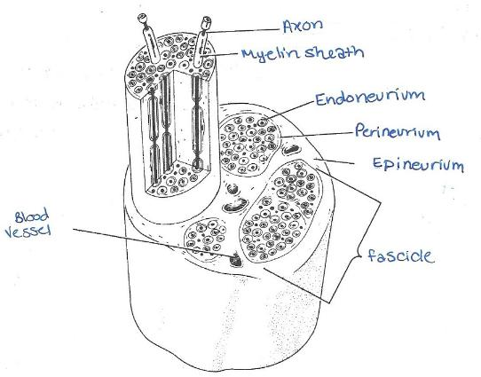 Print Exercise 17: Histology of Nervous Tissue flashcards