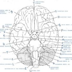 Blank Skull Diagram Anterior C5 Corvette Power Seat Wiring Print Exercise 19: Gross Anatomy Of The Brain And Cranial Nerves Flashcards | Easy Notecards