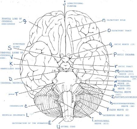 Print Exercise 19: Gross Anatomy of the Brain and Cranial ...