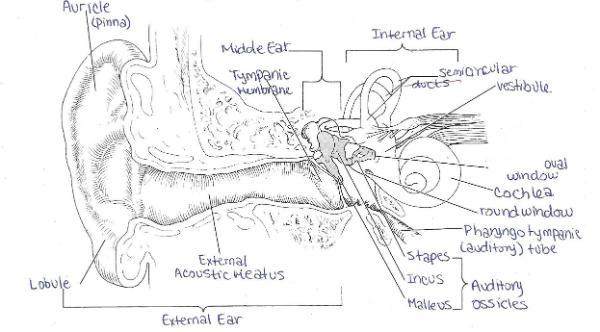 hearing diagram