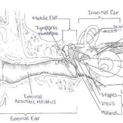 Ear Tympanic Membrane Diagram 2000 Mitsubishi Mirage Stereo Wiring Print Exercise 25: Special Senses - Hearing And Equilibrium Flashcards   Easy Notecards