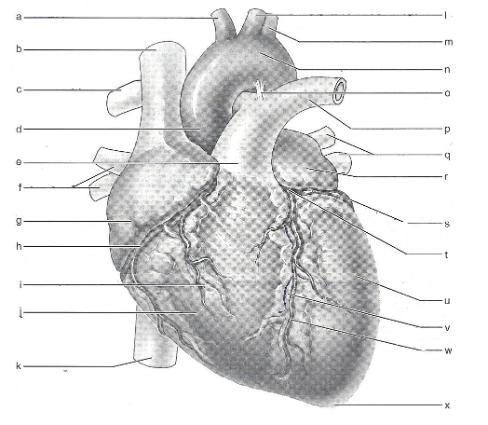 Human Heart Anatomy Quiz By Mg75535