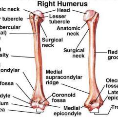 Cow Skeleton Bones Diagram Pioneer Deh P4700mp Wiring Upper Appendicular Week #5 Flashcards | Easy Notecards