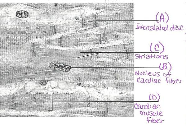 blank heart diagram labeled 1992 club car battery wiring 36 volt print exercise 30: anatomy of the flashcards | easy notecards
