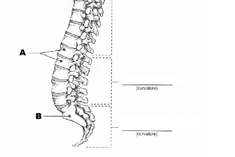 The Spinal Cord: The Spinal Cord And Spinal Nerves Exercise 19