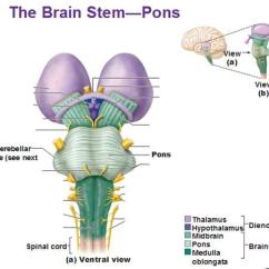 Brain Diagram Pons Telephone 110 Block Wiring Chapter 12 Flashcards | Easy Notecards