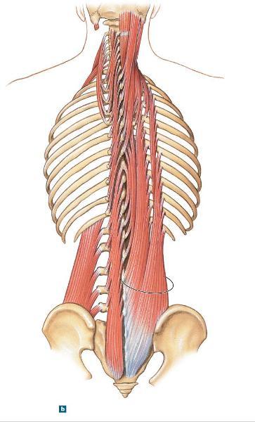 Longissimus Dorsi Human