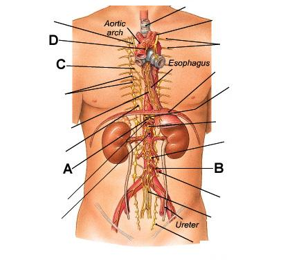 where is your gallbladder diagram 4 wire dc motor connection chapter 16 neural integration ii: the autonomic nervous system flashcards | easy notecards