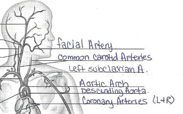 blank skull diagram anterior pig external anatomy exercise 32: of blood vessels flashcards | easy notecards