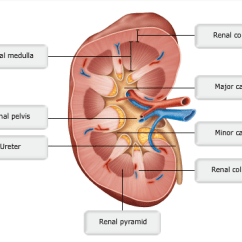 Diagram Of Kidney Ureter And Bladder 2000 Hayabusa Wiring Chapter 25: The Urinary System Flashcards | Easy Notecards
