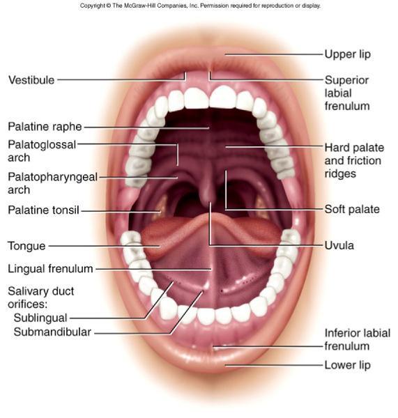 lip anatomy diagram citroen c5 wiring digestion: h&p flashcards | easy notecards