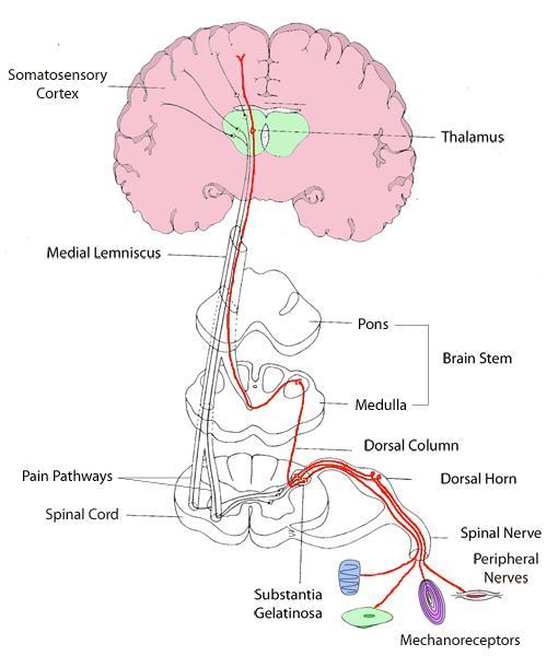 easy brain diagram d link rj45 keystone jack wiring neuromuscular anatomy and physiology flashcards   notecards