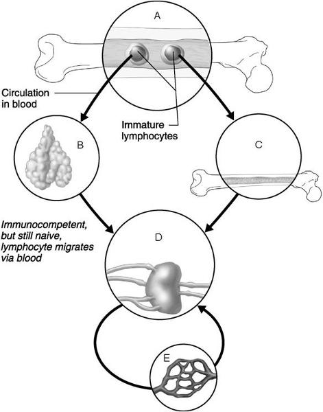Print Chapter 21 The Immune System: Innate and Adaptive