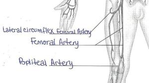 Print Exercise 32: Anatomy of Blood Vessels flashcards