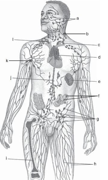 Exercise 35A: The Lymphatic System and Immune System