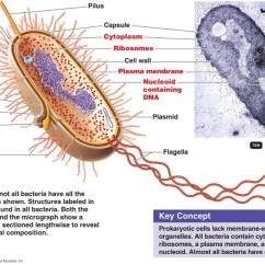 Gram Negative Cell Wall Diagram Car Tow Hitch Wiring Print Functional Anatomy Of Prokaryotic And Eukaryotic Cells Flashcards | Easy Notecards