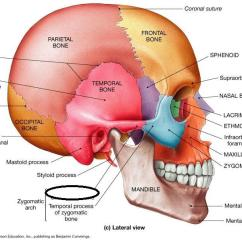 Diagram Of Human Ear With Labelling Earth S Interior Structure Week #3 Axial Skeleton: Skull Flashcards | Easy Notecards