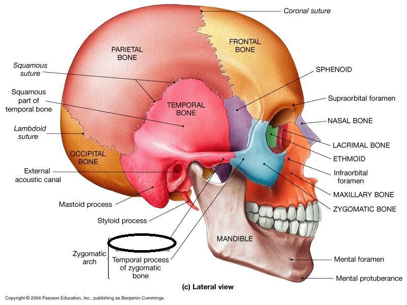 keystone arch diagram trailer wiring 7 way ford 2 week #3 axial skeleton: skull flashcards | easy notecards