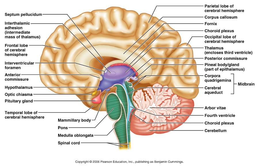 brain diagram inside car alarm wire rebecca biology 107 parts of the flashcards find and locate medulla oblongata