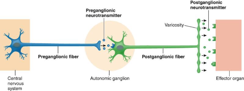 sympathetic and parasympathetic diagram pioneer avh p3100dvd wiring 2 bio 201 peripheral nervous system flashcards   easy notecards