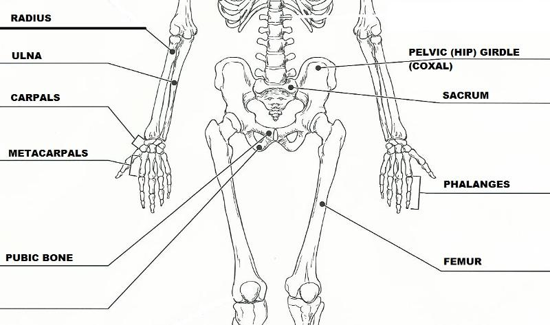 Print Exercise 11: The Appendicular Skeleton flashcards