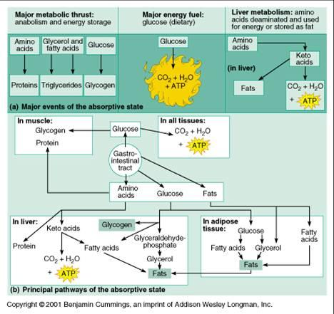 Print A&P CH24 Metabolism Flashcards Easy Notecards