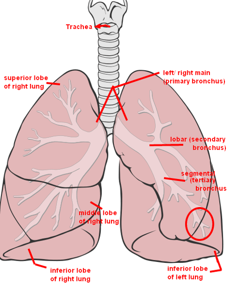 the lung anatomy diagram label network excel review sheet exercise 36 flashcards | easy notecards