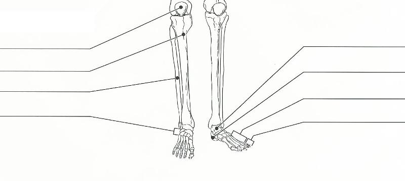 Print Exercise 11 The Appendicular Skeleton Flashcards