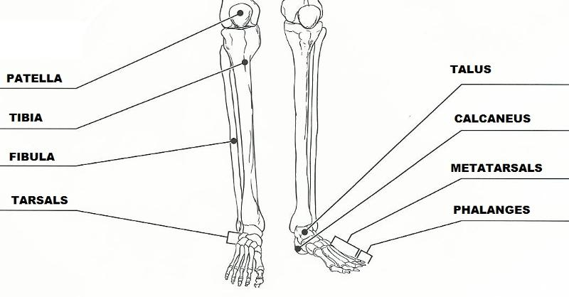 Pin Axial Skeleton Flashcards Quizlet on Pinterest