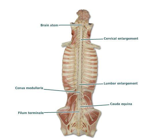 horse neck diagram two way switch connection print bio210 exercise 21: spinal cord and nerves flashcards | easy notecards
