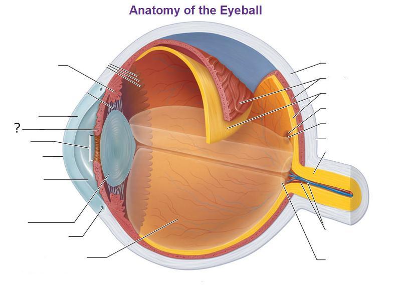 Anatomy of the Eye Flashcards | Easy Notecards
