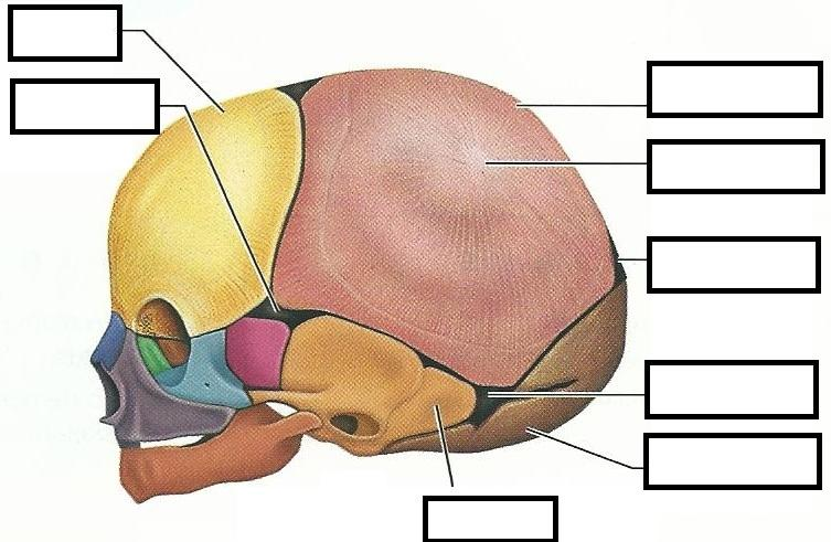 fill in the blank anatomy diagrams 2008 ford f250 trailer plug wiring diagram exercise 12: fetal skeleton flashcards   easy notecards