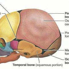 Rib Cage Bone Diagram John Deere Lt155 Wiring Exercise 12: The Fetal Skeleton Flashcards | Easy Notecards