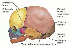 Print Exercise 12: The Fetal Skeleton flashcards   Easy Notecards
