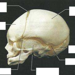 Blank Skull Diagram Anterior Aem Fic 8 Wiring Exercise 12: The Fetal Skeleton Flashcards | Easy Notecards