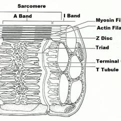 Skeletal Muscle Labeled Diagram Print Mass Haul Explained Exercise 14 Microscopic Anatomy And Organization Of Card Image